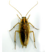 get rid of roaches prosper tx