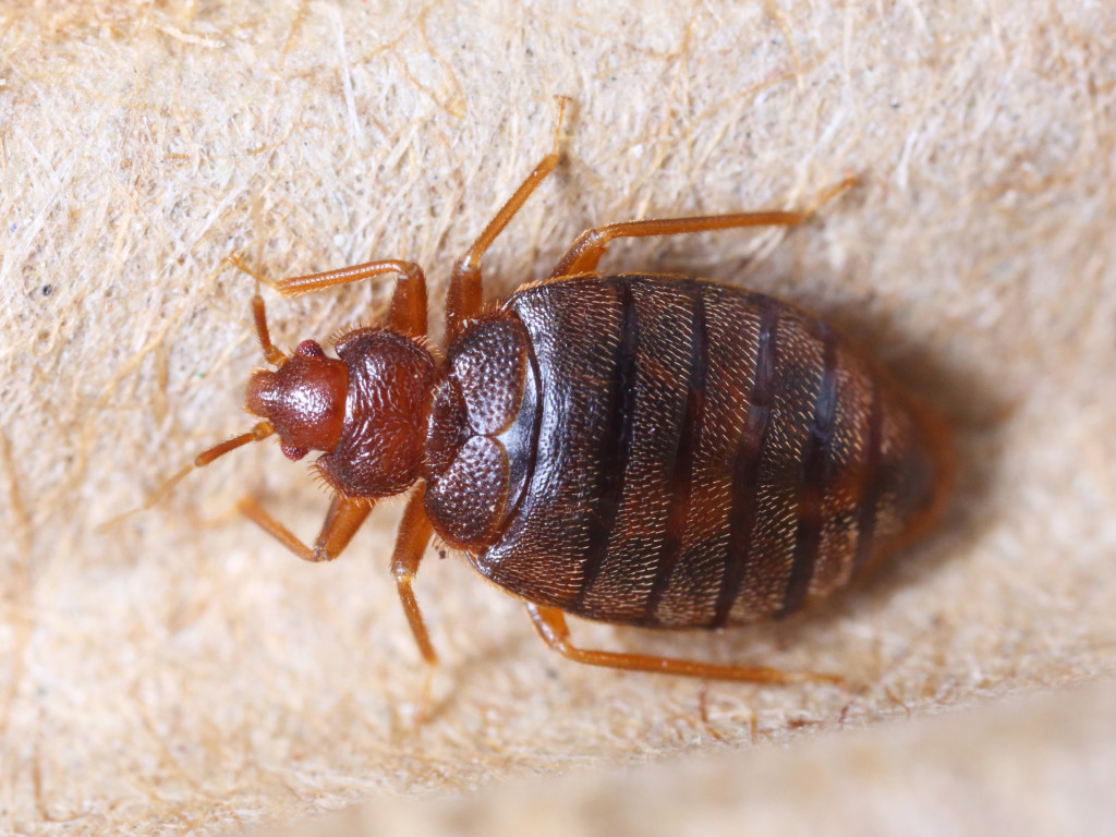 getting rid of bed bugs prosper tx