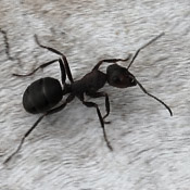 how to kill ants celina tx