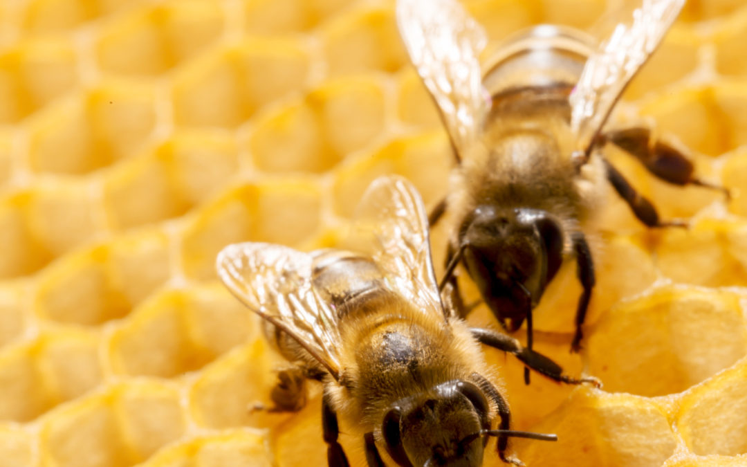 Bee Removal Houston and Bee Removal Dallas