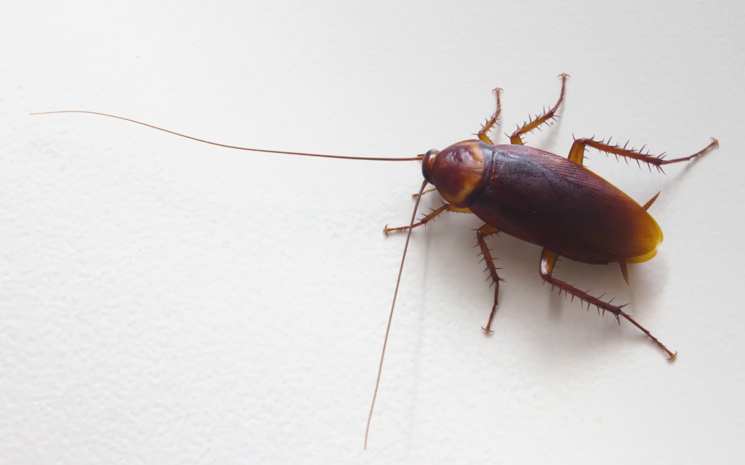 Pest Control In McKinney, TX: Cockroach Facts You Should Know