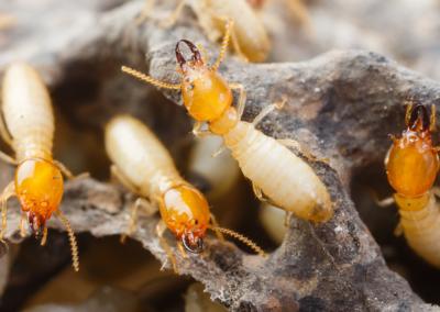 Termite Control Houston and Dallas