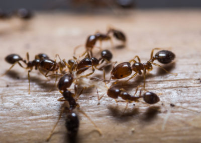 Group of ants up close on a wooden table