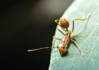 Brown and red ant on a green leaf