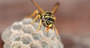 wasp on top of nest outside of house
