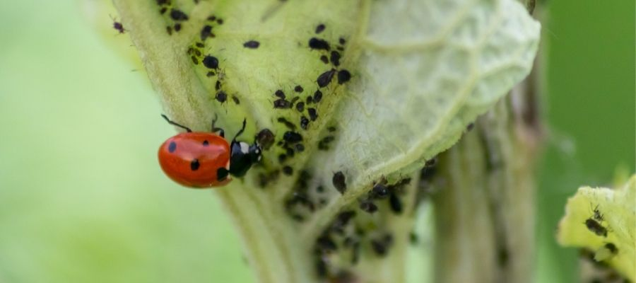 lady bug eating aphids in garden - integrated pest control header image