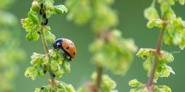 ladybug on branch - biological pest control