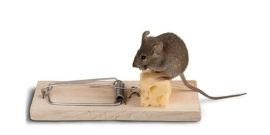 mouse and cheese on mouse trap