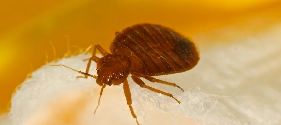 large adult bed bug on mattress