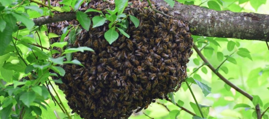 Houston, bee removal - large swarm on a tree branch