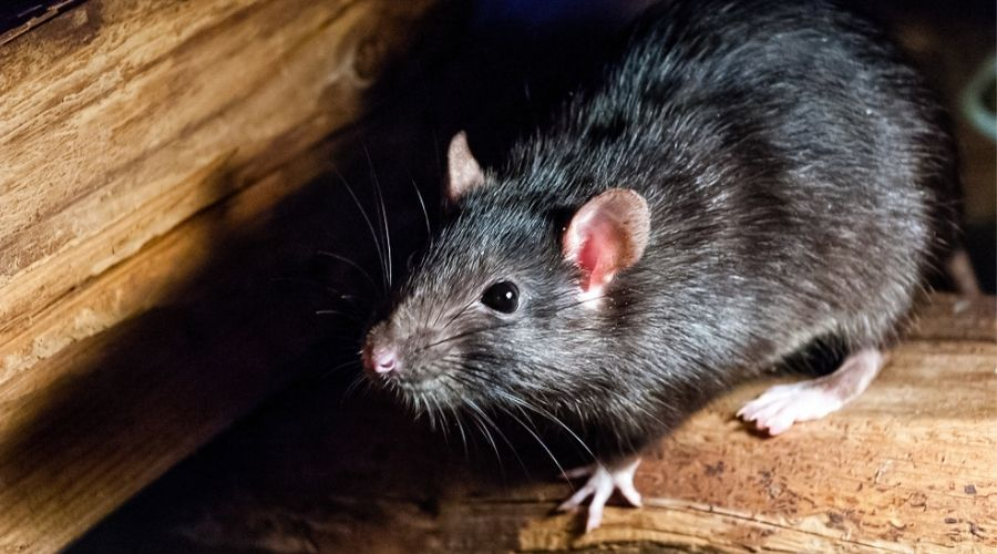 What Attracts Mice and Rats To Your Houston, TX Property