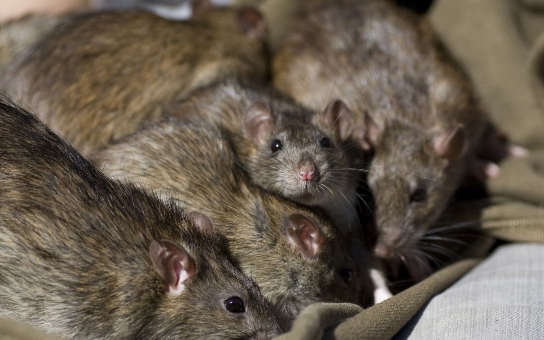 group of norway rats