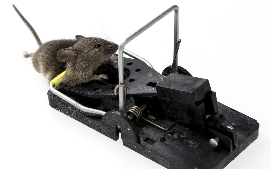 mouse trap with a dead rat