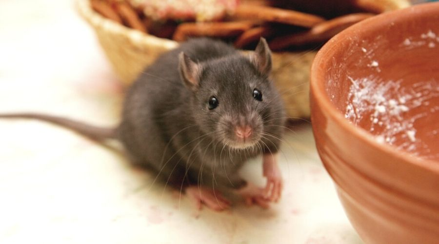 What Do Rats Eat? A Guide To Houston Rodents & Their Feeding Habits