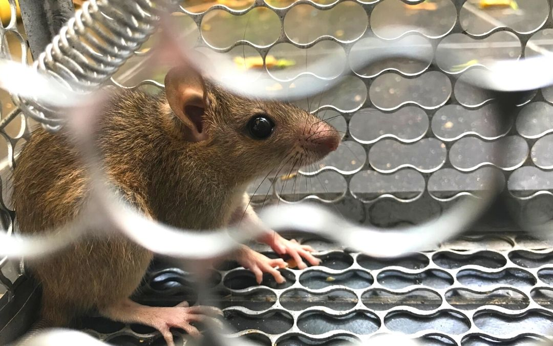 rat trapped inside a steel cage trap