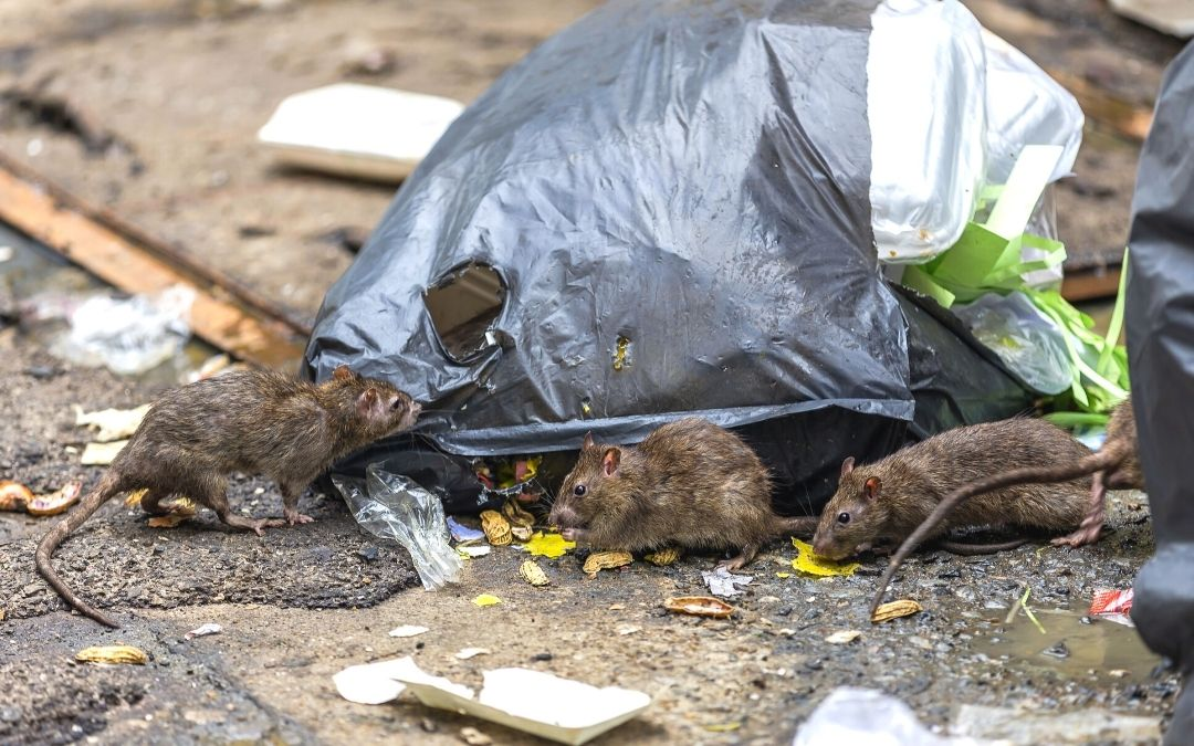 three rats feasting on garbage