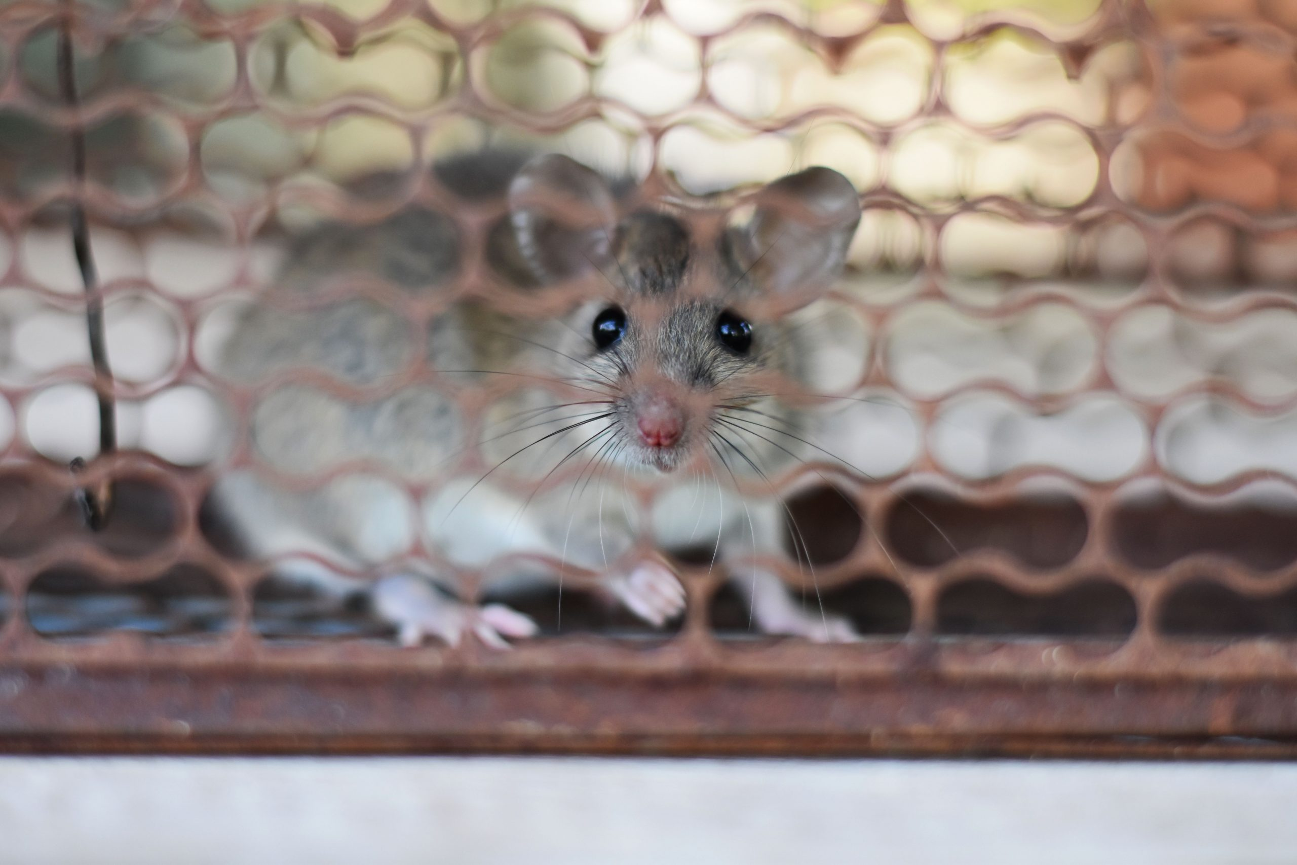 A mouse stuck in a live trap