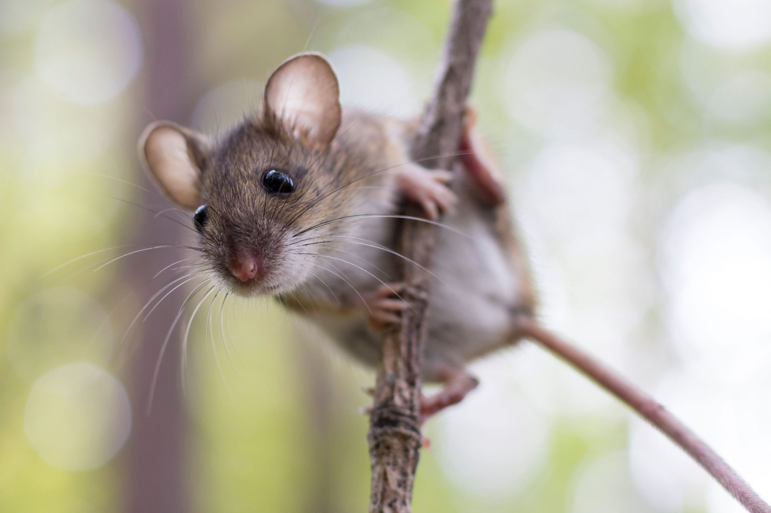 A mouse clinging to a branch