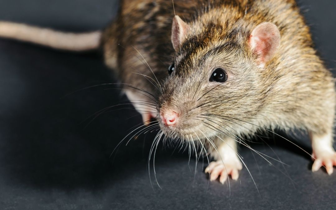 Close up of a rat on a black background