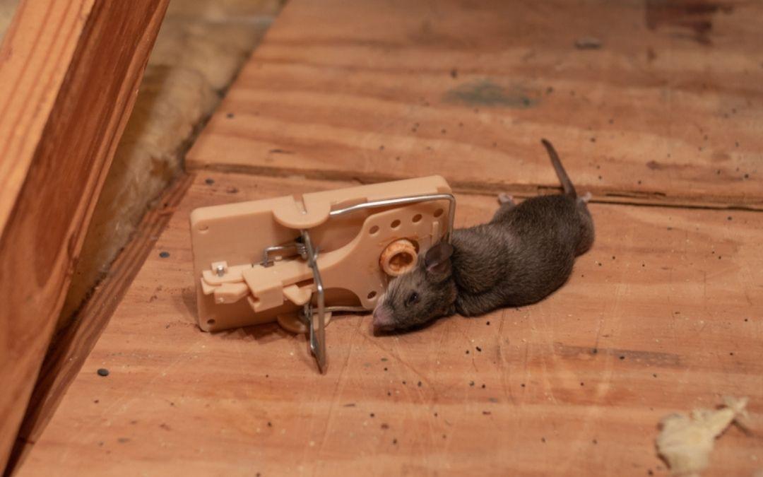 dead rat on a snap trap