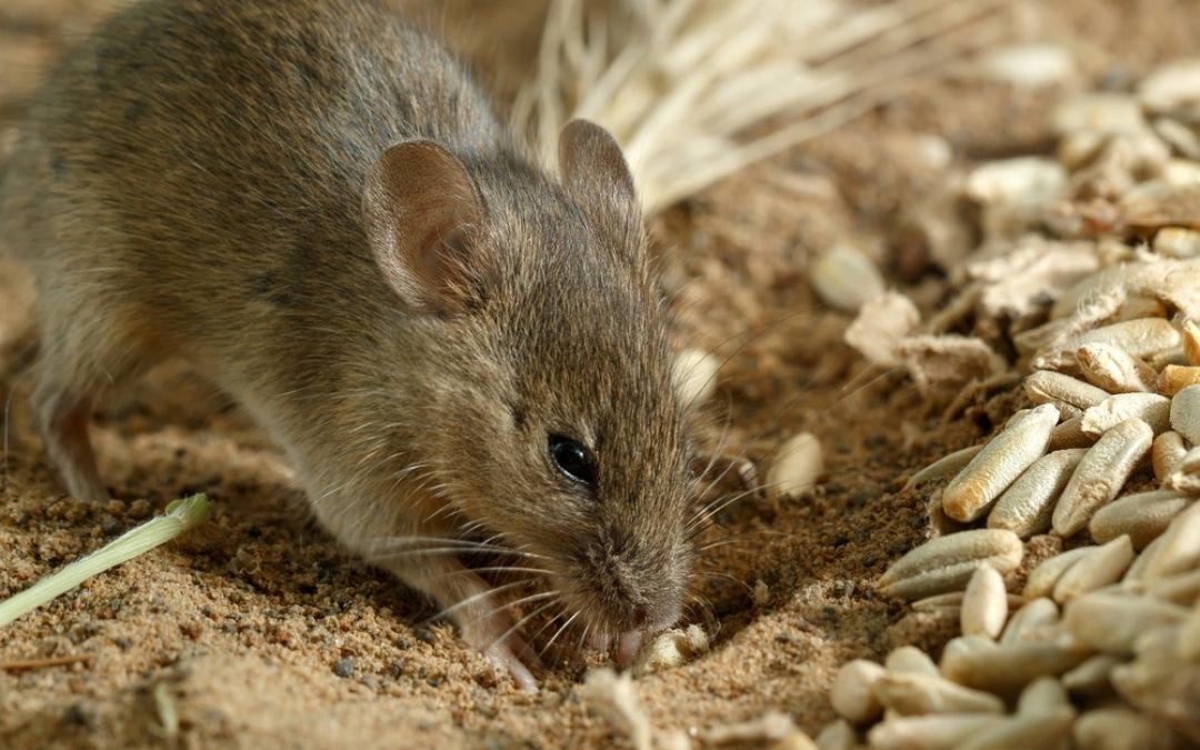 Mouse digging in dirt