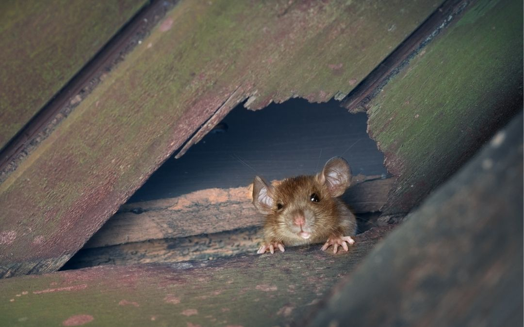 How to Get Rid of Mice in Attics
