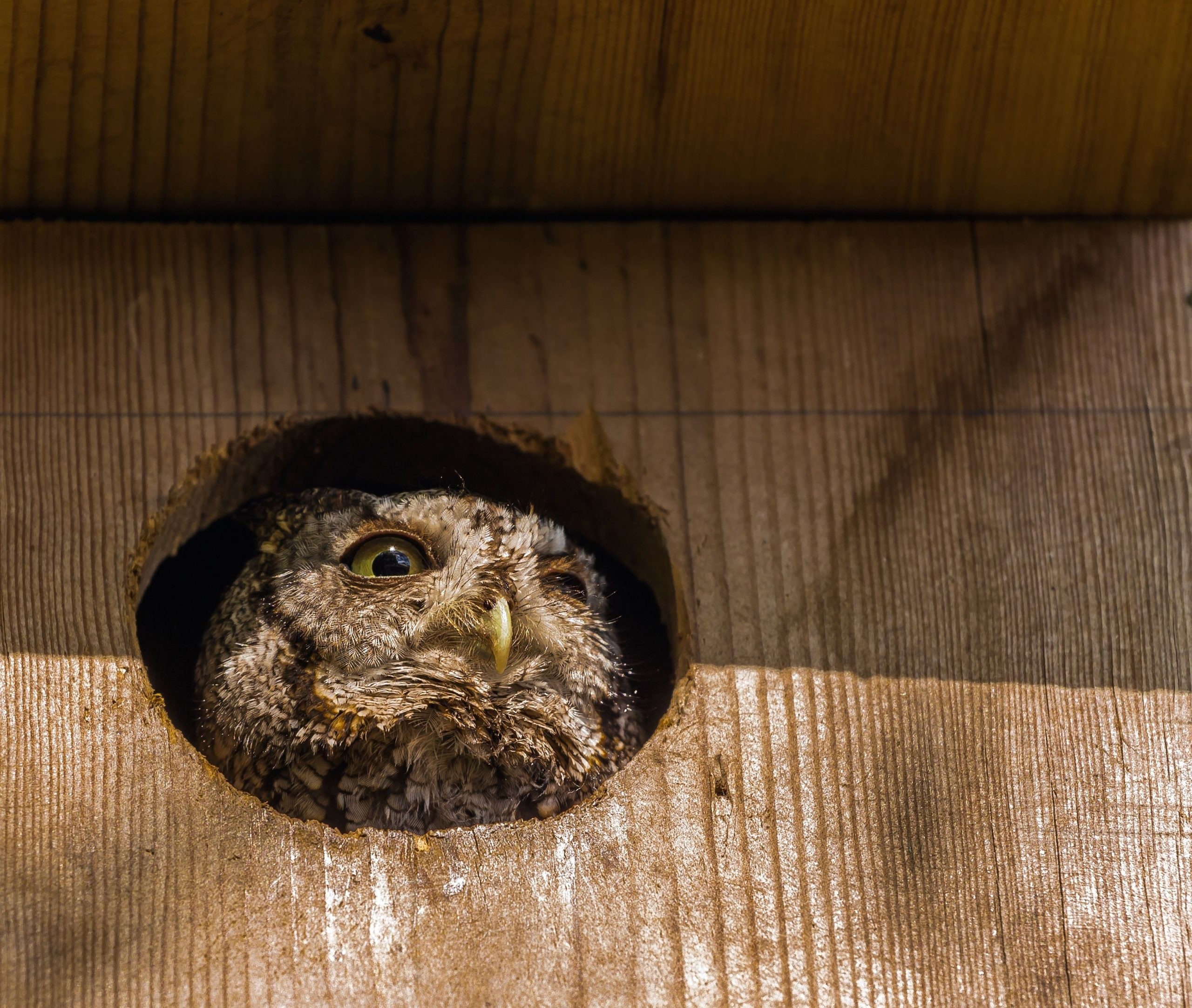Close up of screech owl in owl nesting box