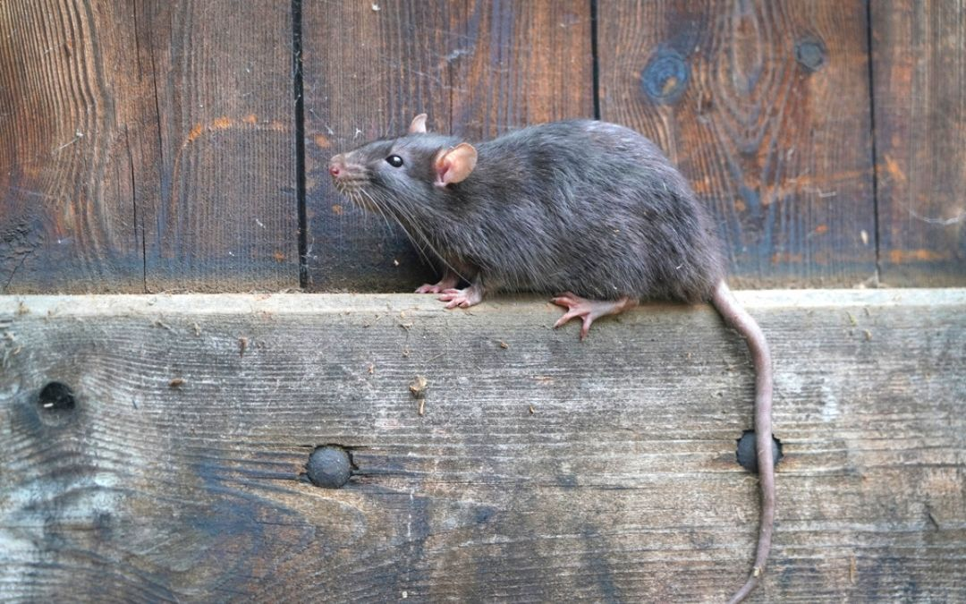 Rat on ledge of wooden fencing
