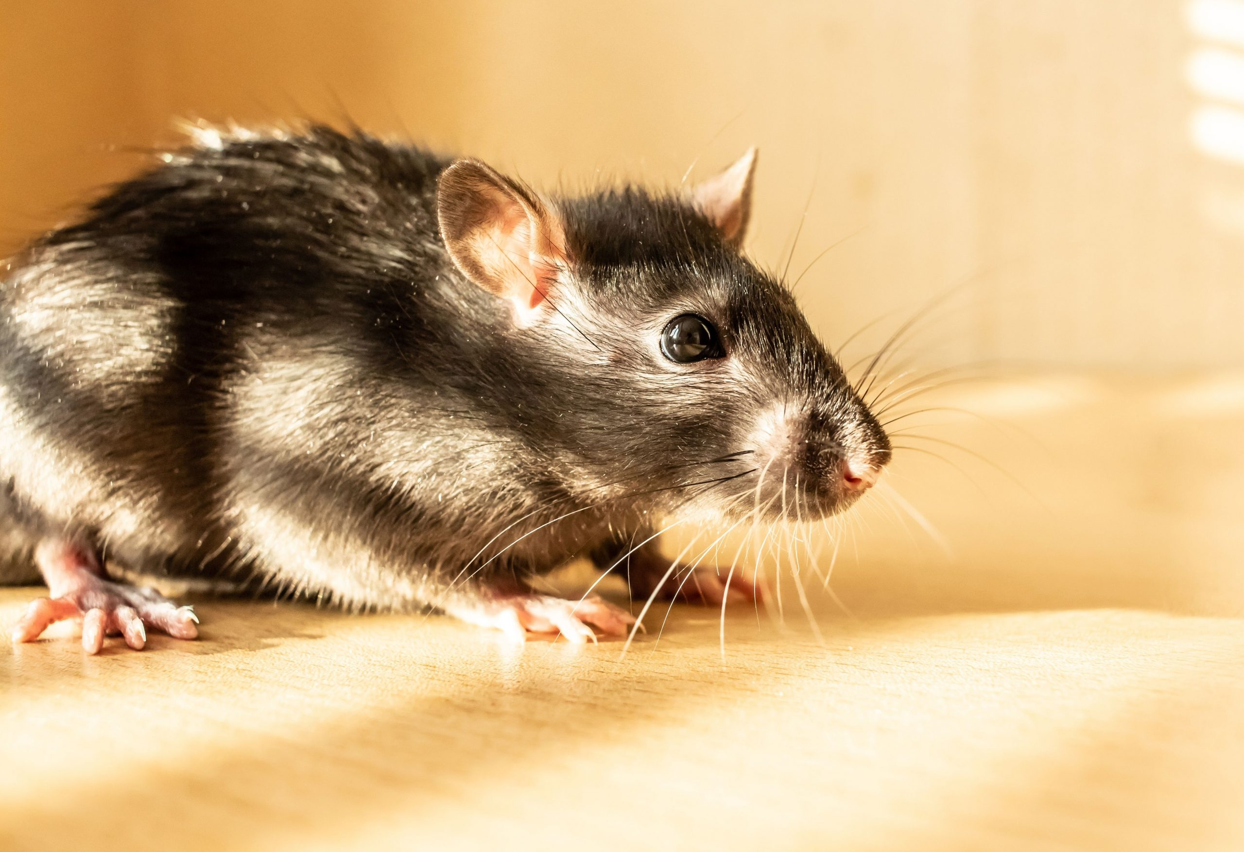 Side view of a rat on light wood