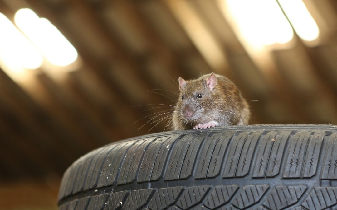 How to Stop Rodents from Chewing Car Wires