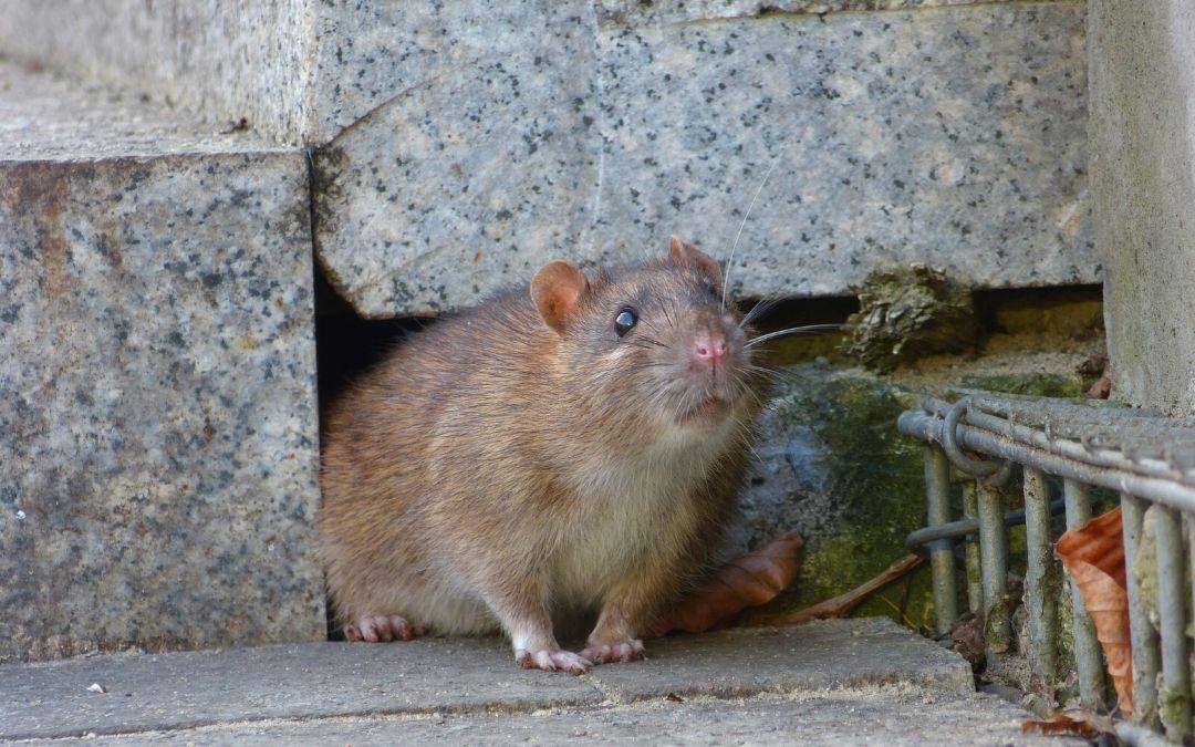 brown rat under concrete staircase