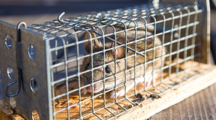 captured rat