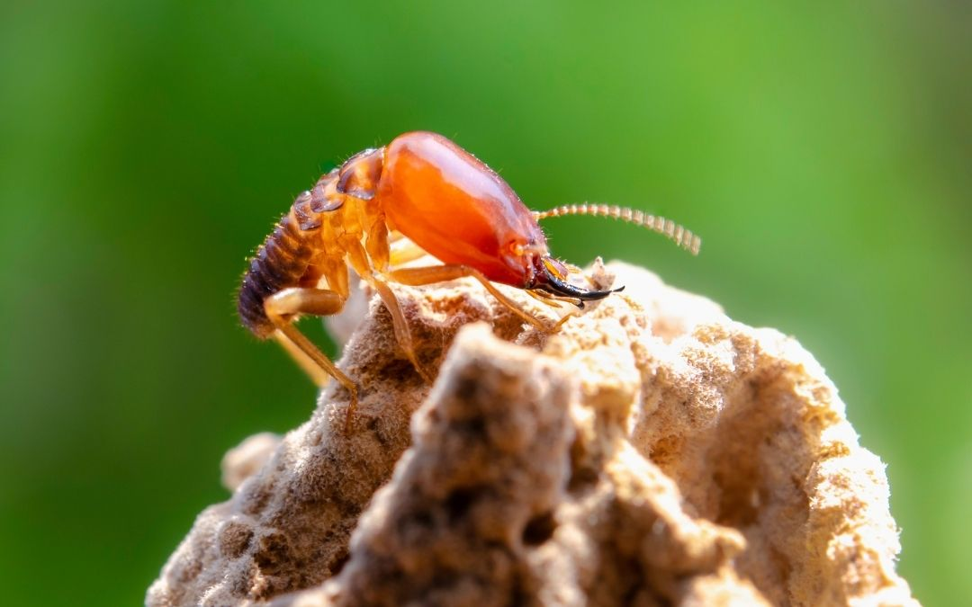 close up of a soldier termite