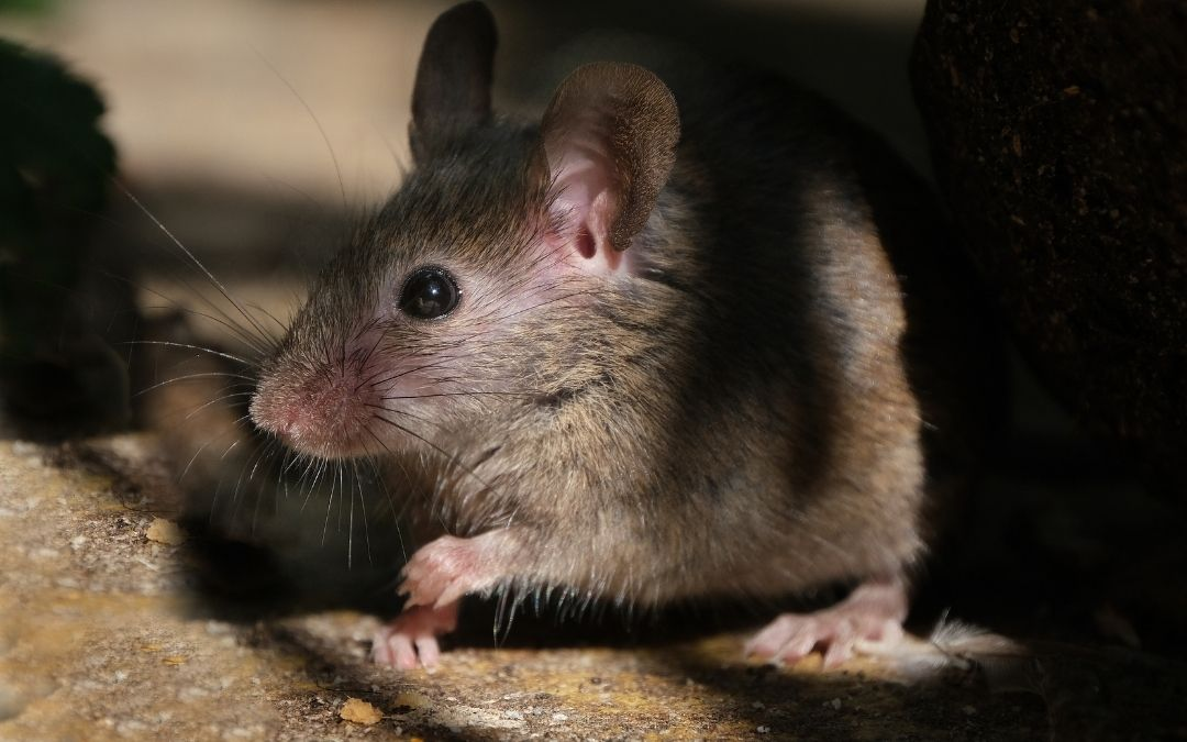 mouse under a shadow