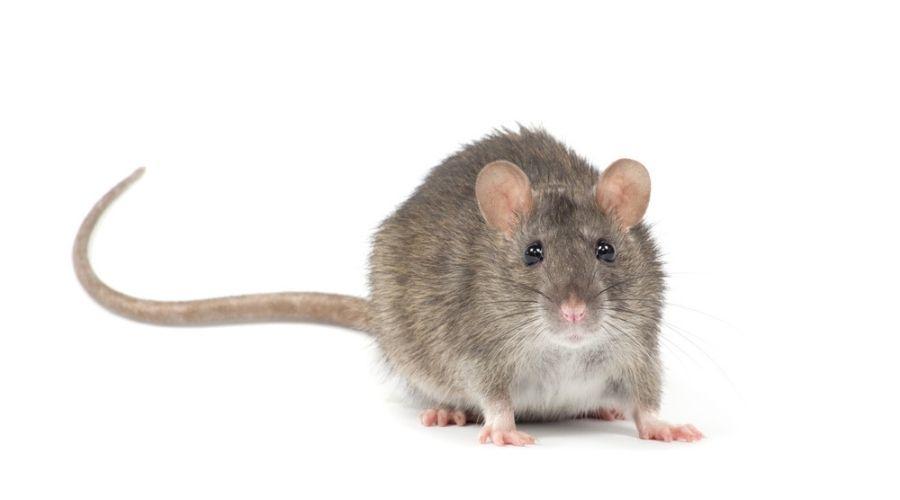 norway rat on white background