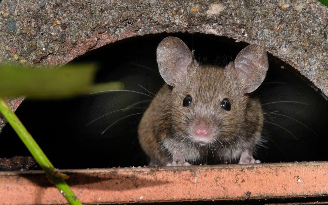 a mouse under concrete pavement