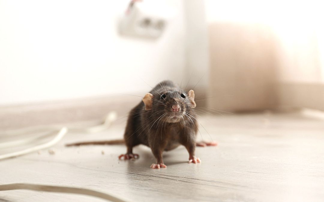 brown rat on the floor of a house