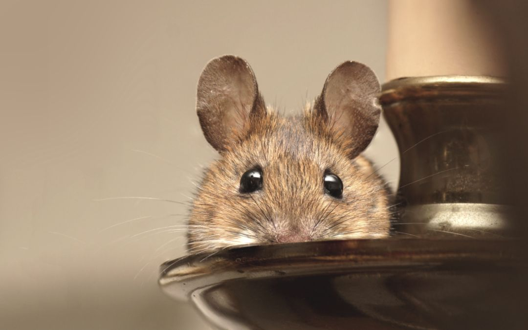 close up of a wood mouse
