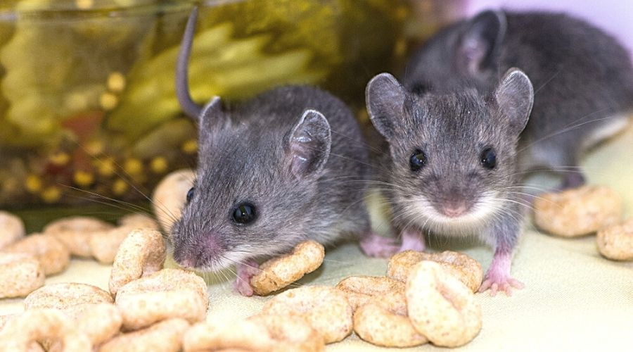 house mice contaminating food products in the kitchen