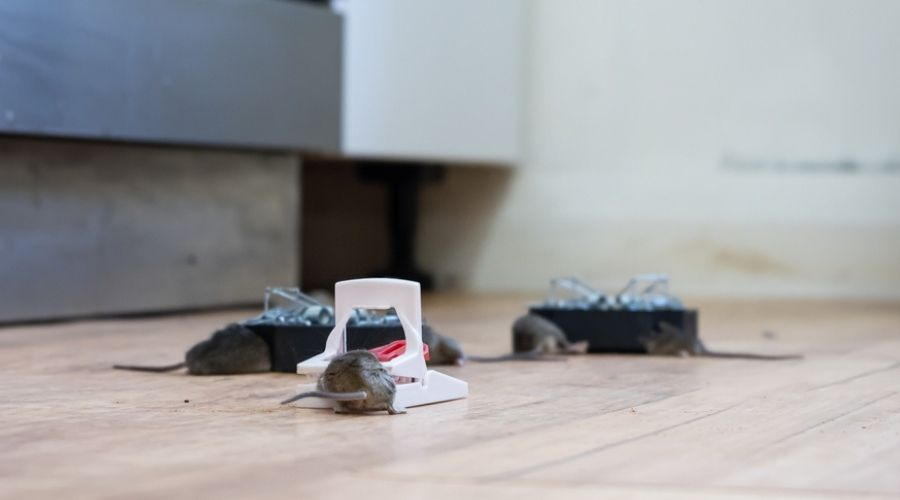 mice caught in traps in the kitchen