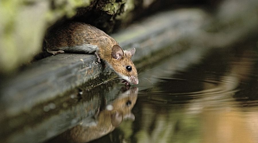 mouse in contact with flood water