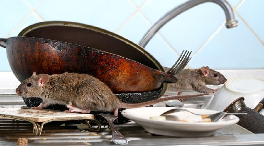 rats contaminating the kitchen