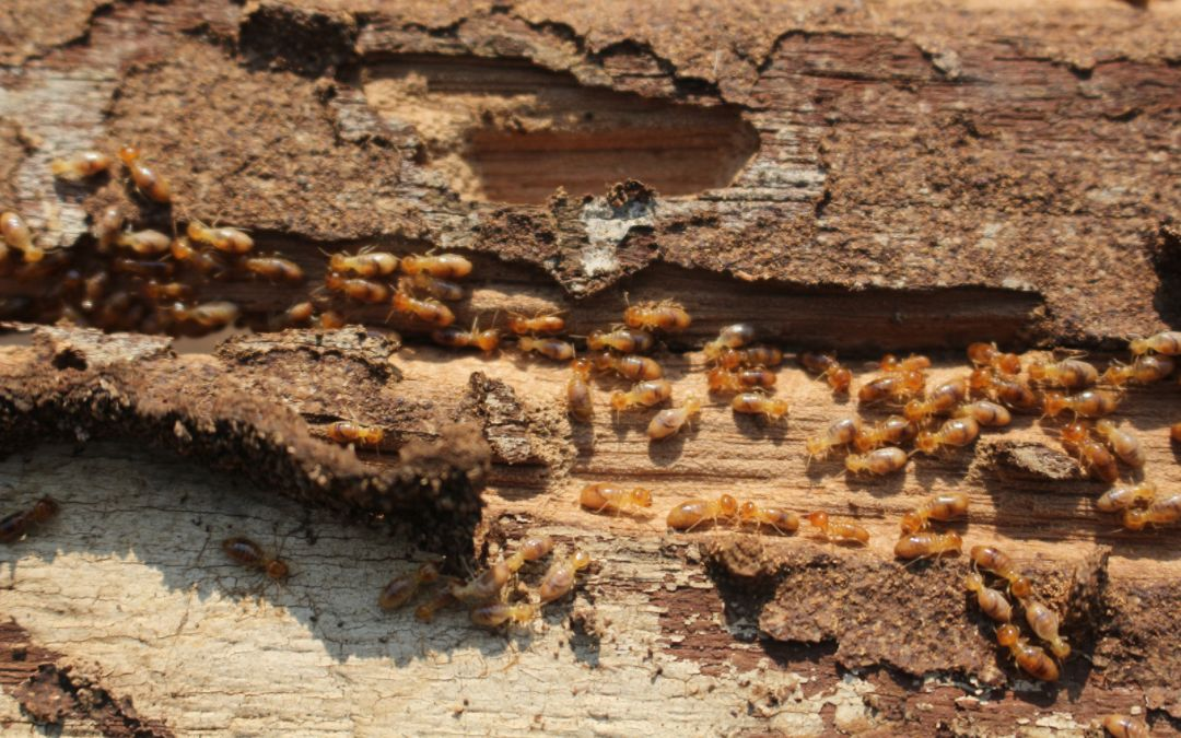 termites eating wood from the house foundation