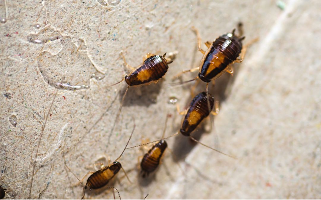 5 Major Signs That You Have Cockroaches in Your Houston Home