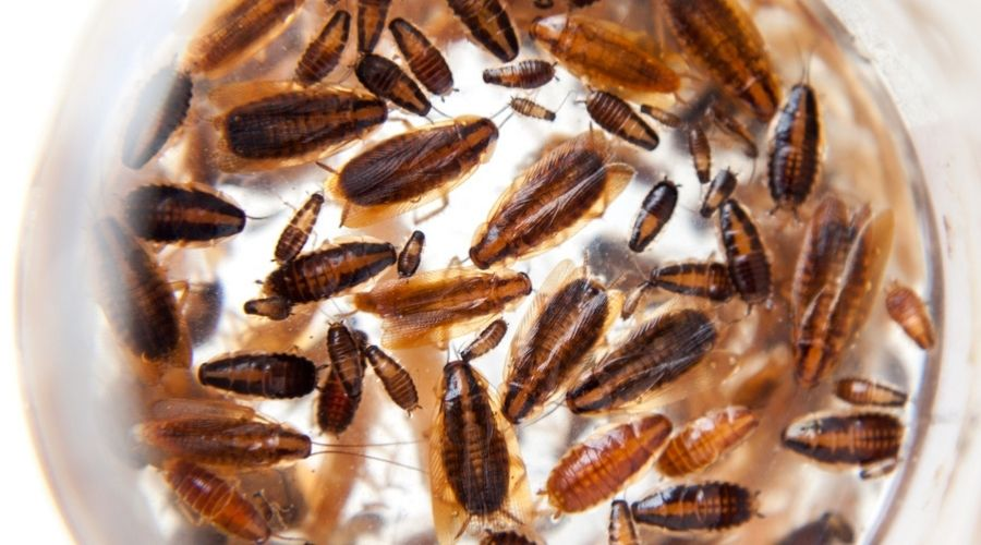 A group of german cockroaches at different ages.