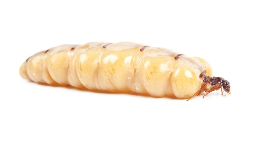 A queen termite on a white background