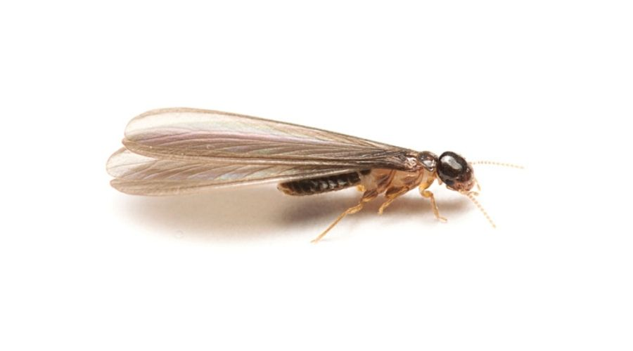 A termite alate on a white background