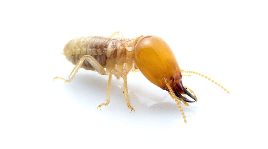 A worker termite on a white background