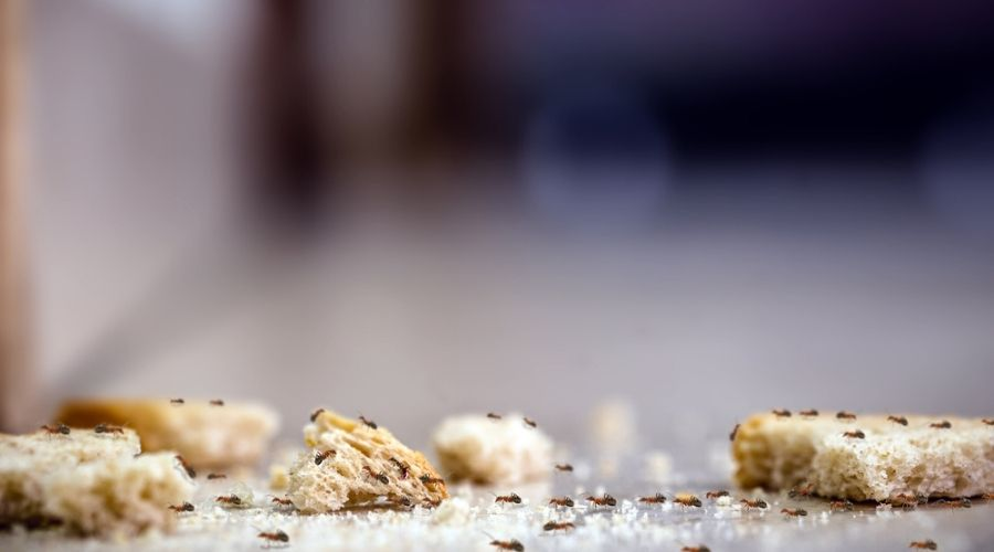 Ants feeding on crumbs on the floor.