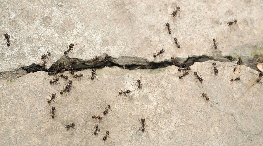 Black ants crawling out of a crack in cement.